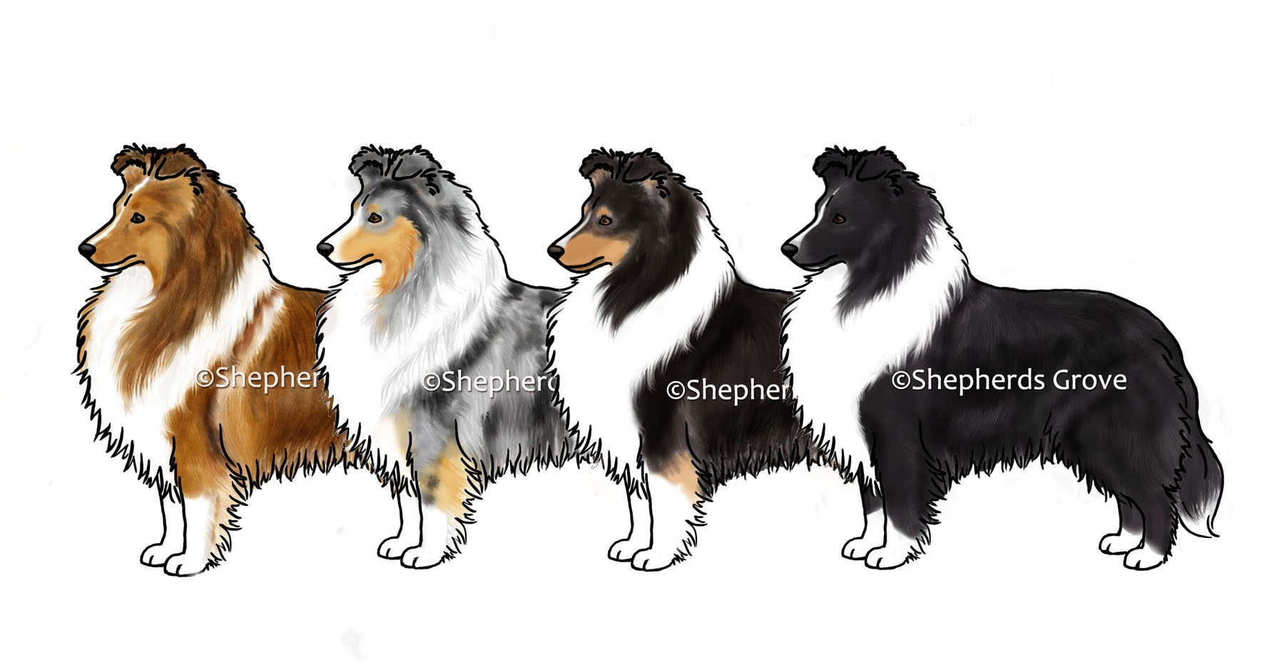 Sheltie Coat Color Options